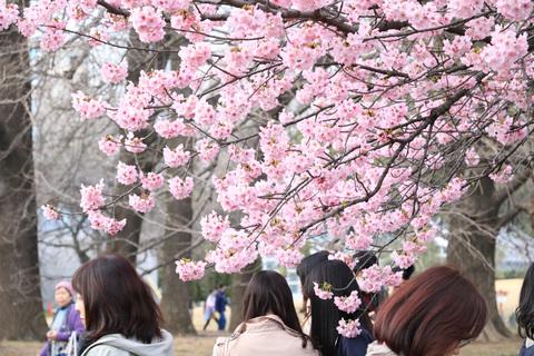 2016_sakura_04.jpg