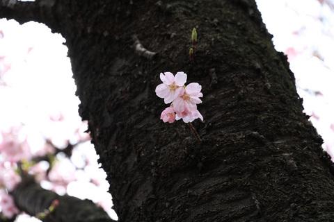2016_sakura_06.jpg